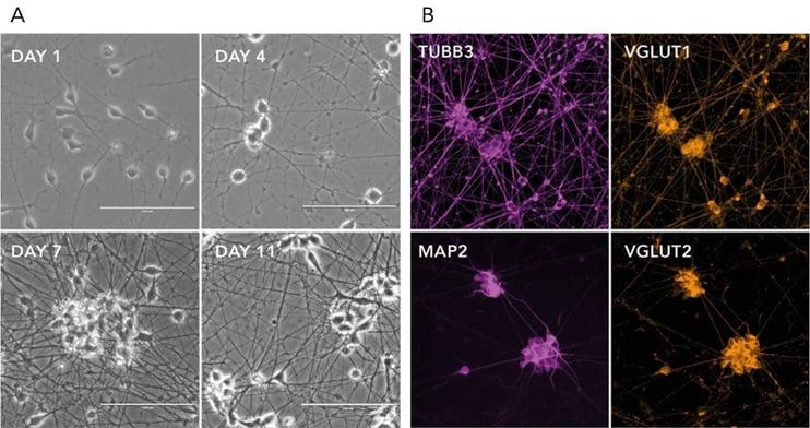 bit.bio ioGlutamatergic Neuron ICC and phase contrast