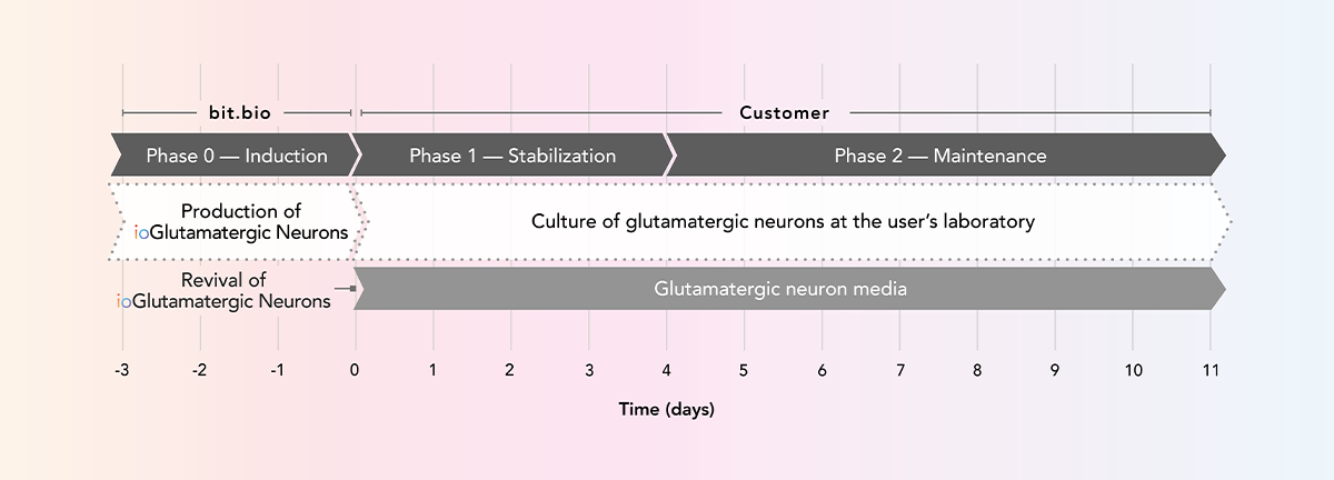 ioGlutamatergic Neurons arrive ready to plate