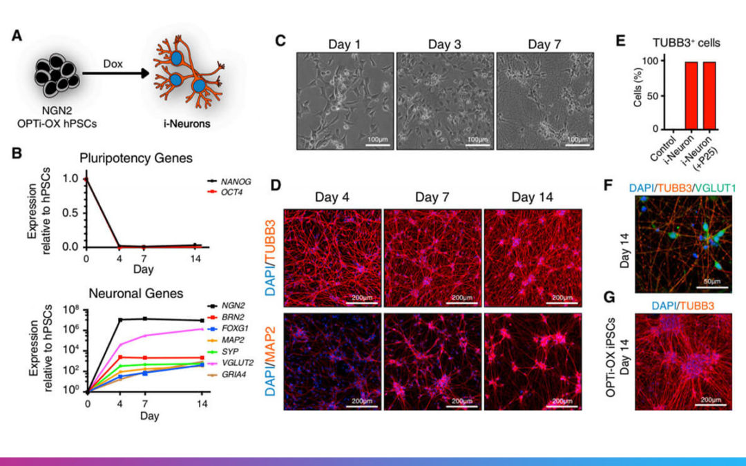 Inducible and Deterministic Forward Programming of Human Pluripotent Stem Cells into Neurons, Skeletal Myocytes, and Oligodendrocytes
