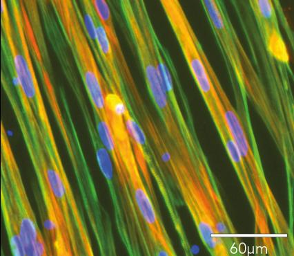 bit.bio ioSkeletal Myocytes Troponin Phalloidin DAPI